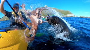 Why Did An Octopus-Wielding Seal Slap A Kayaker In The Face?