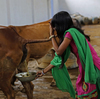 Cow Dung Soap Is Cleaning Up In India