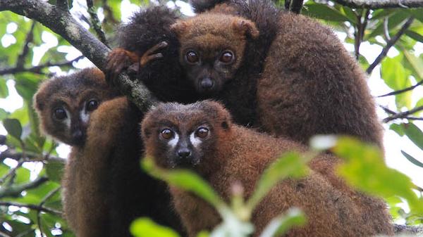 Red-bellied lemurs in Ranomafana National Park, Madagascar.