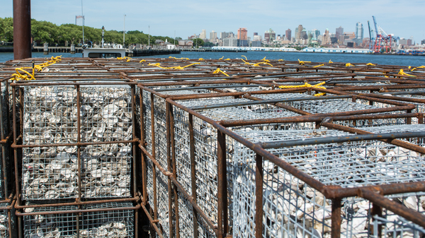 The shells are trucked over to Brooklyn