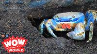 crabby pee thumbnail