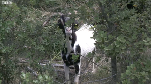 Goats And Sheep (Indirectly) Fight Fires In Heartwarming BBC Video