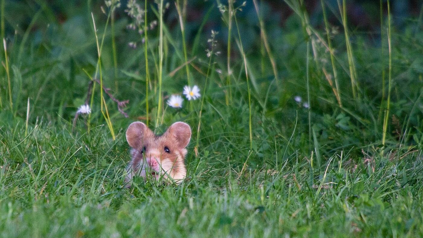 With Austria's Hamsters At Risk, Better Call The 'Hamster Commish'