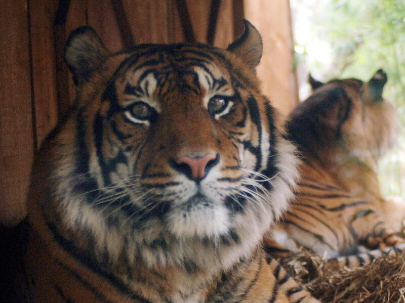 calvin klein s obsession could be the trick to catching a tiger npr