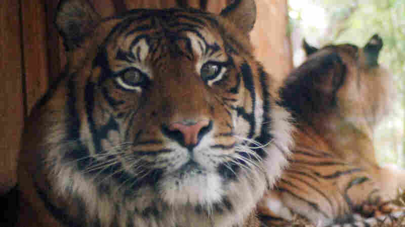 Calvin Klein's Obsession Could Be The Trick To Catching A Tiger