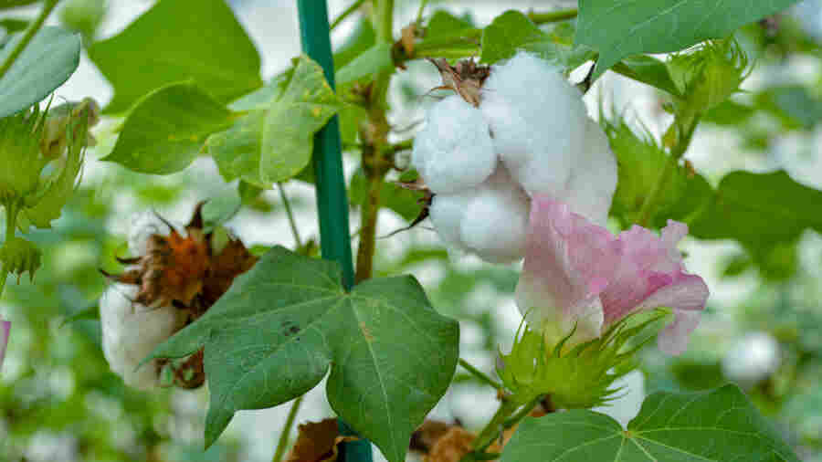 Not Just For Cows Anymore: New Cottonseed Is Safe For People To Eat