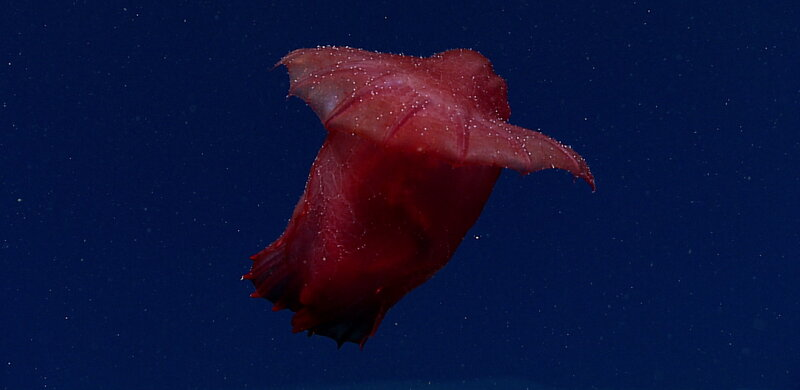 behold the headless chicken of the deep sea npr