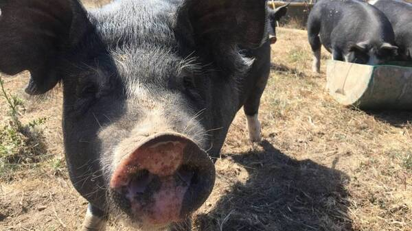 A Berkshire pig at Root Down Farm in Pescadero, Calif. Californians will vote on a proposition in November that would require all pork sold in the state be from pigs raised in more spacious pens.