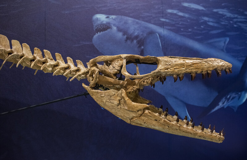 scientists unveil ancient sea monsters found in angola npr
