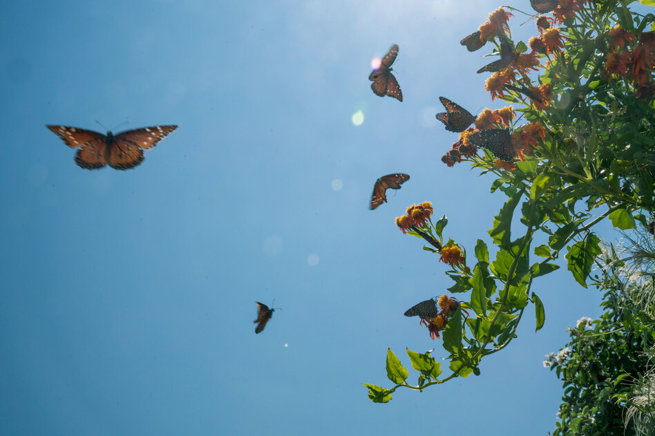 Butterflies swarm a flowering plant at the National Butterfly Center, a 100-acre wildlife center and botanical garden in Hidalgo County, Texas. (Claire Harbage/NPR)