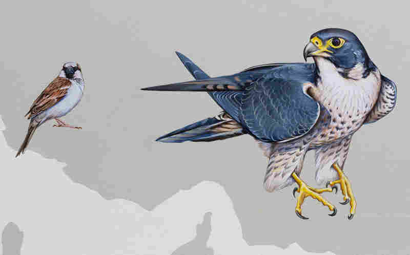 A house sparrow and a peregrine falcon.