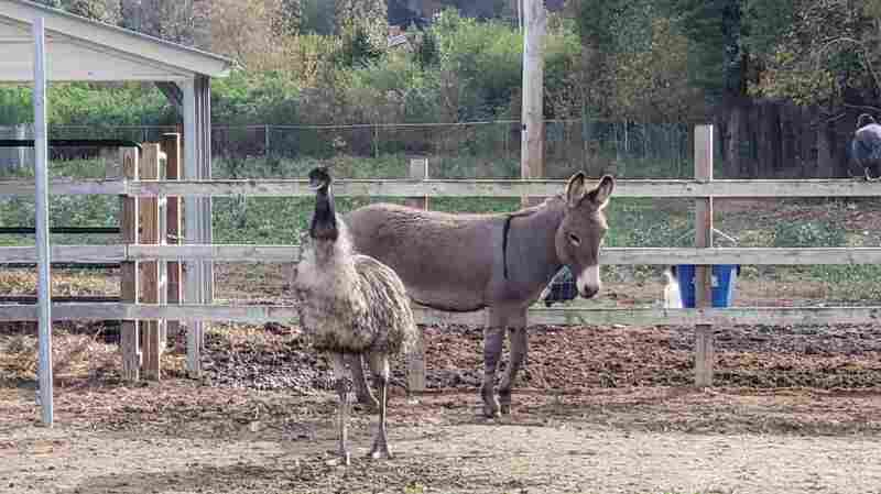 Love Knows No Species: Emu And Donkey Have Fallen For Each Other, Caretakers Say