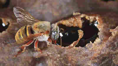 Mexico's Endangered Stingless Bees Mysteriously Find A Sweeter Home In Cuba