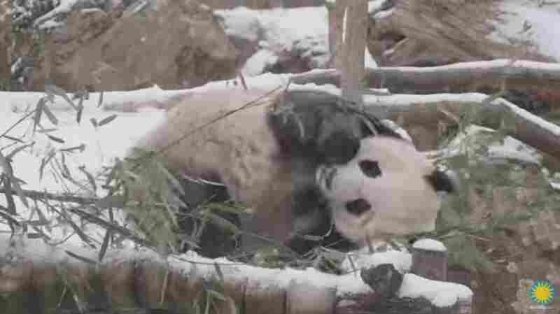 VIDEO: We Hope Your Day Is As Great As This Snow-Loving Panda's