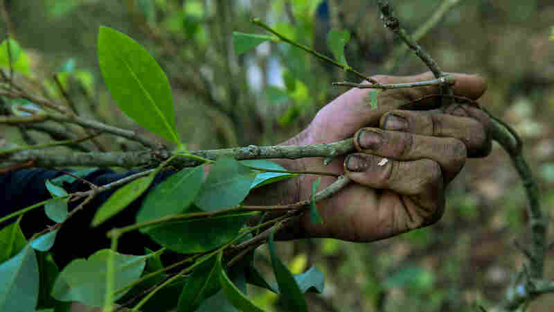 Colombia Tries To Get Farmers Away From The Cocaine Biz. How's That Going?