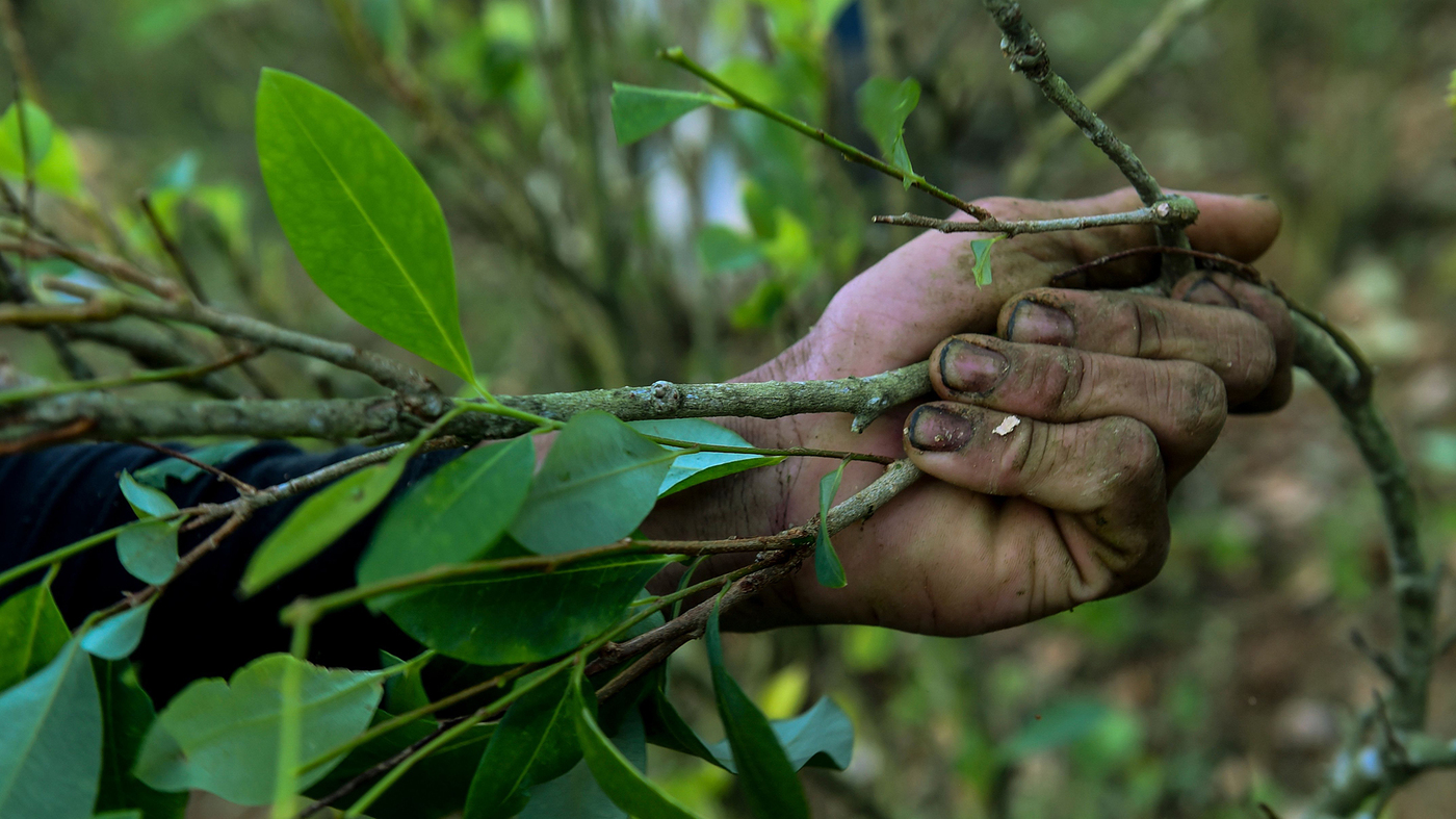 Colombia Tries To Get Farmers Away From The Cocaine Biz. How s That Going  fced978536bb7