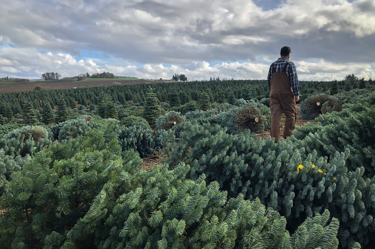 Real And Fake Christmas Tree Sellers Fight For American
