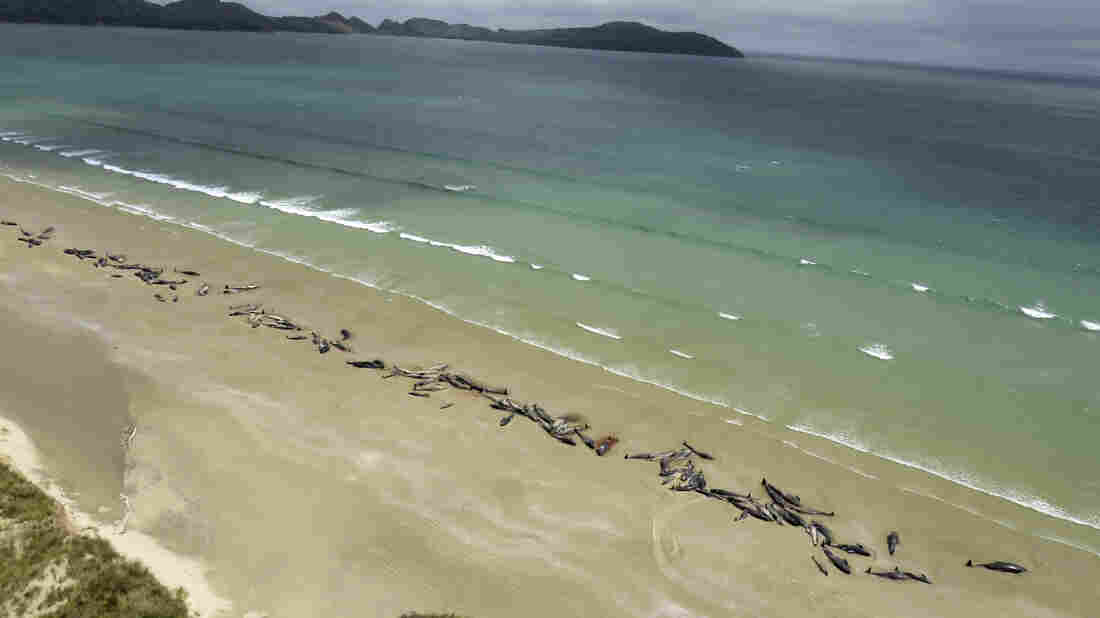 145 pilot whales stranded on remote New Zealand beach die