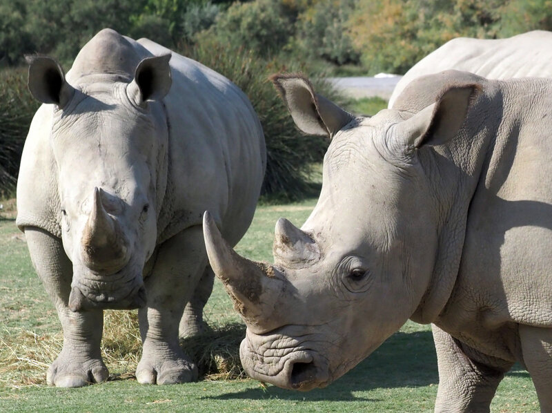 Image result for rhino horn made of