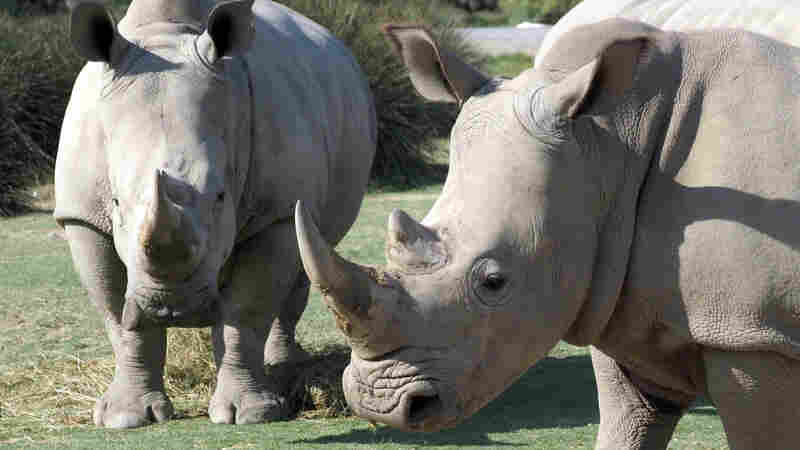 Sotheby's And Bonhams Bow To Pressure, Ban The Sale Of Rhino Horn Artifacts