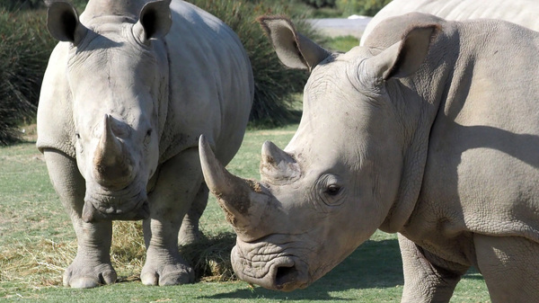 Rhino horns are prized in Asian countries and can garner tens of thousands of dollars per pound. Wildlife conservationists argue that the appetite for the endangered species
