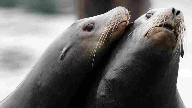 Dead Sea Lions With Gunshot Wounds Wash Up On Washington State Shores