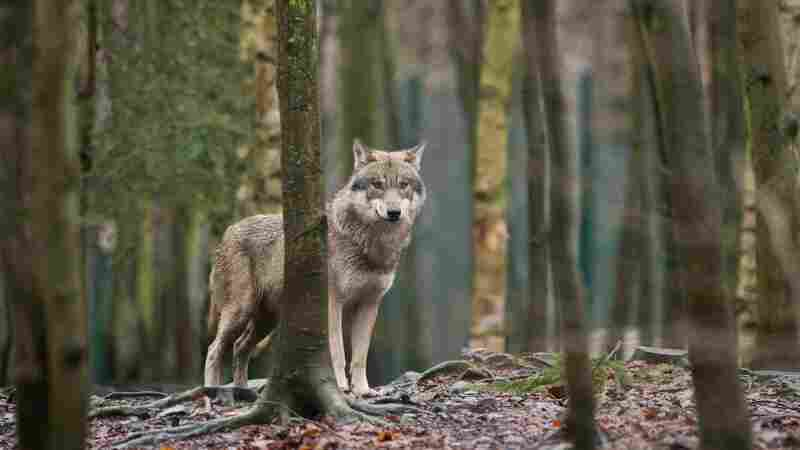 Wolves Are Back In Germany, But Not Always Welcome
