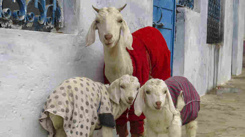 Dear Internet: Goats In Sweaters Are Cuter Than Kittens In Mittens