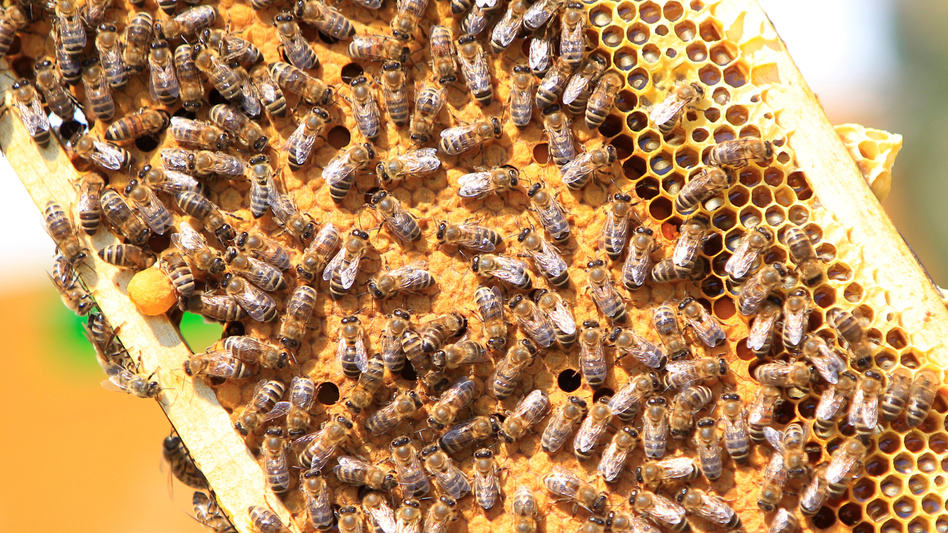 Researchers say they've found a way to let queen bees pass on immunity to a devastating disease called American foulbrood. The infectious disease is so deadly, many states and beekeeping groups recommend burning any hive that's been infected. Here, a frame from a normal hive is seen in a photo from 2017.