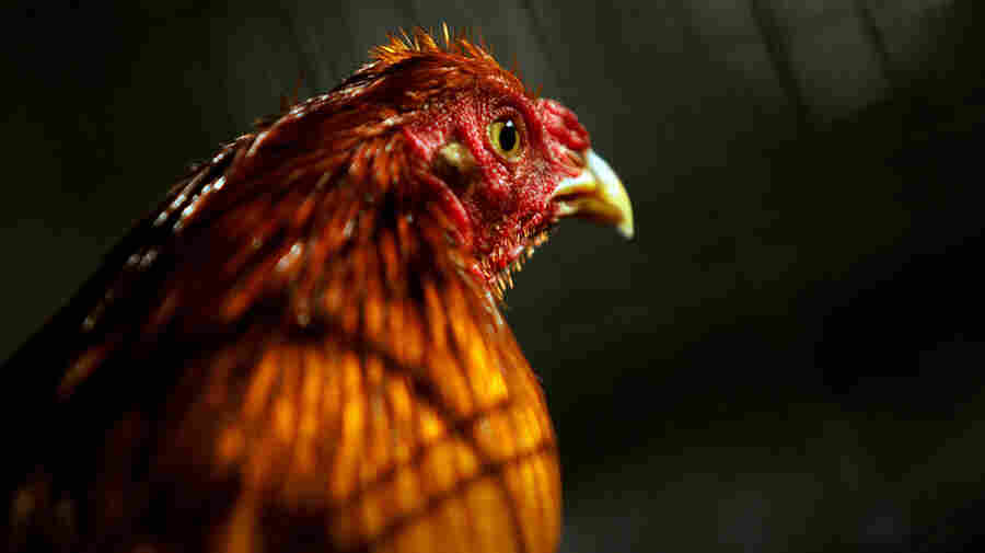 Puerto Ricans Angry Over Impending Ban On Cockfighting
