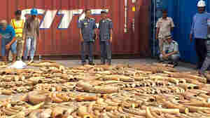 Cambodia Nabs More Than 3 Tons Of Illegal Ivory