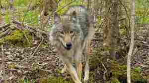 The Secret Fishing Habits Of Northwoods' Wolves