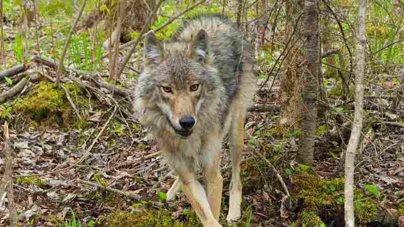 The Secret Fishing Habits Of Northwoods' Wolves