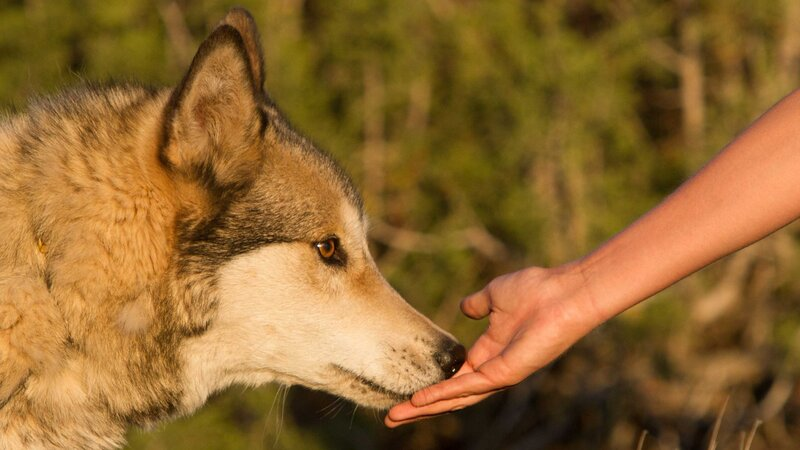 Abused Wolves And Troubled Teens Find Solace In Each Other Npr