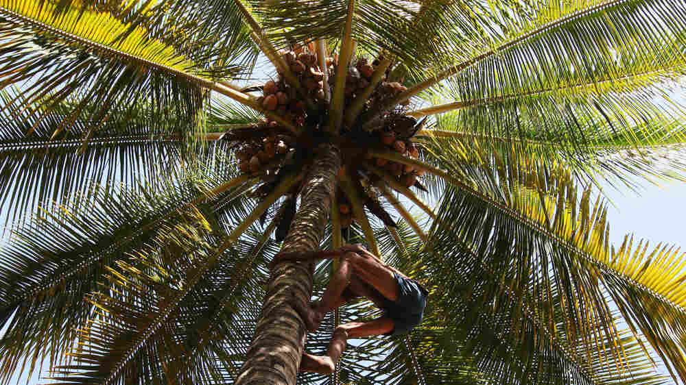 Kerala Needs Coconut Pickers — So Women Are Stepping In (And Climbing Up)