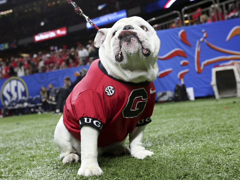 University Of Texas Mascot >> Video Texas Longhorns Mascot Charges Georgia S Bulldog Npr