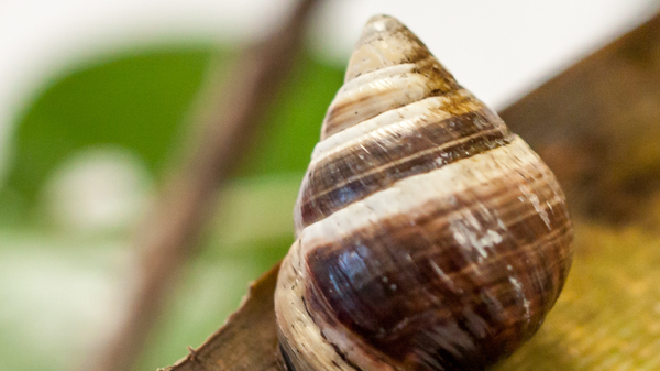 George, the last known Achatinella apexfulva, a Hawaiian land snail, died on New Year