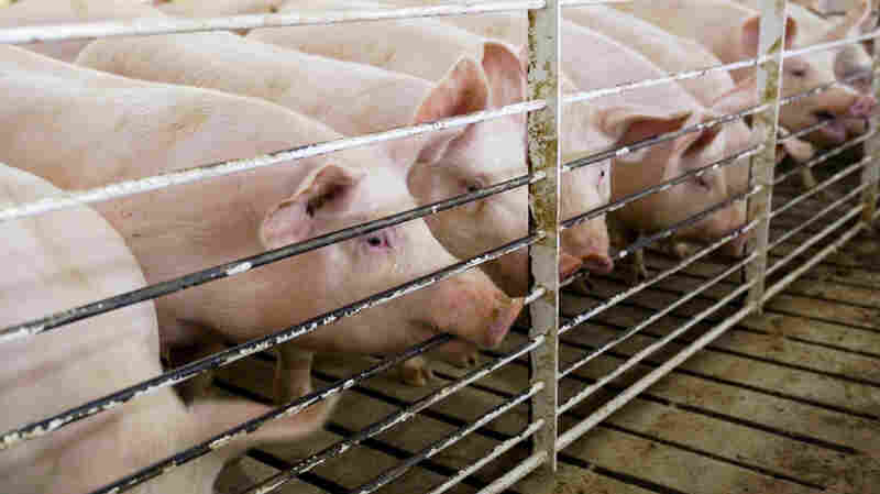 Court Strikes Down Iowa's 'Ag-Gag' Law That Blocked Undercover Investigations