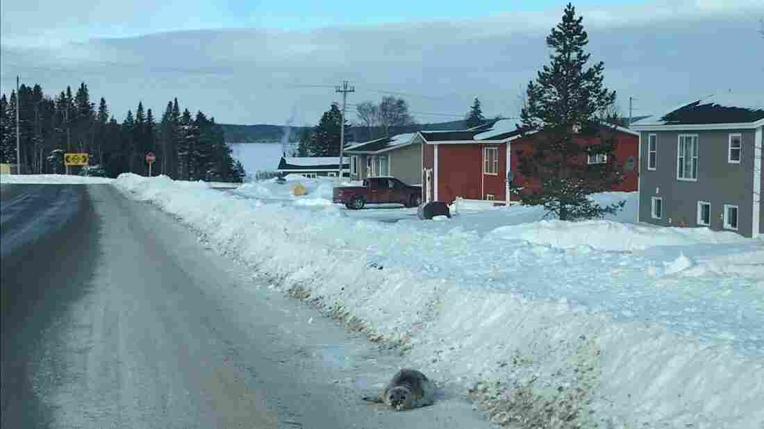 Canadian town 'inundated' with dozens of stranded seals""
