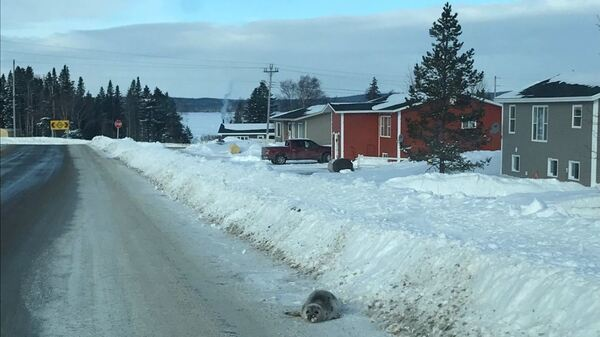 A harp seal lies on a road in Roddickton-Bide Arm on Friday. Dozens of the animals are currently stranded in the small Canadian town.