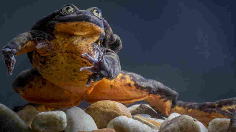 Matchmaking Scientists Find Romeo The Frog His Own Juliet