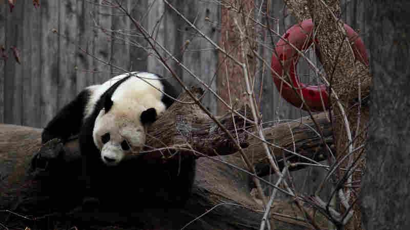 One More Thing The Shutdown Took: Panda Cams