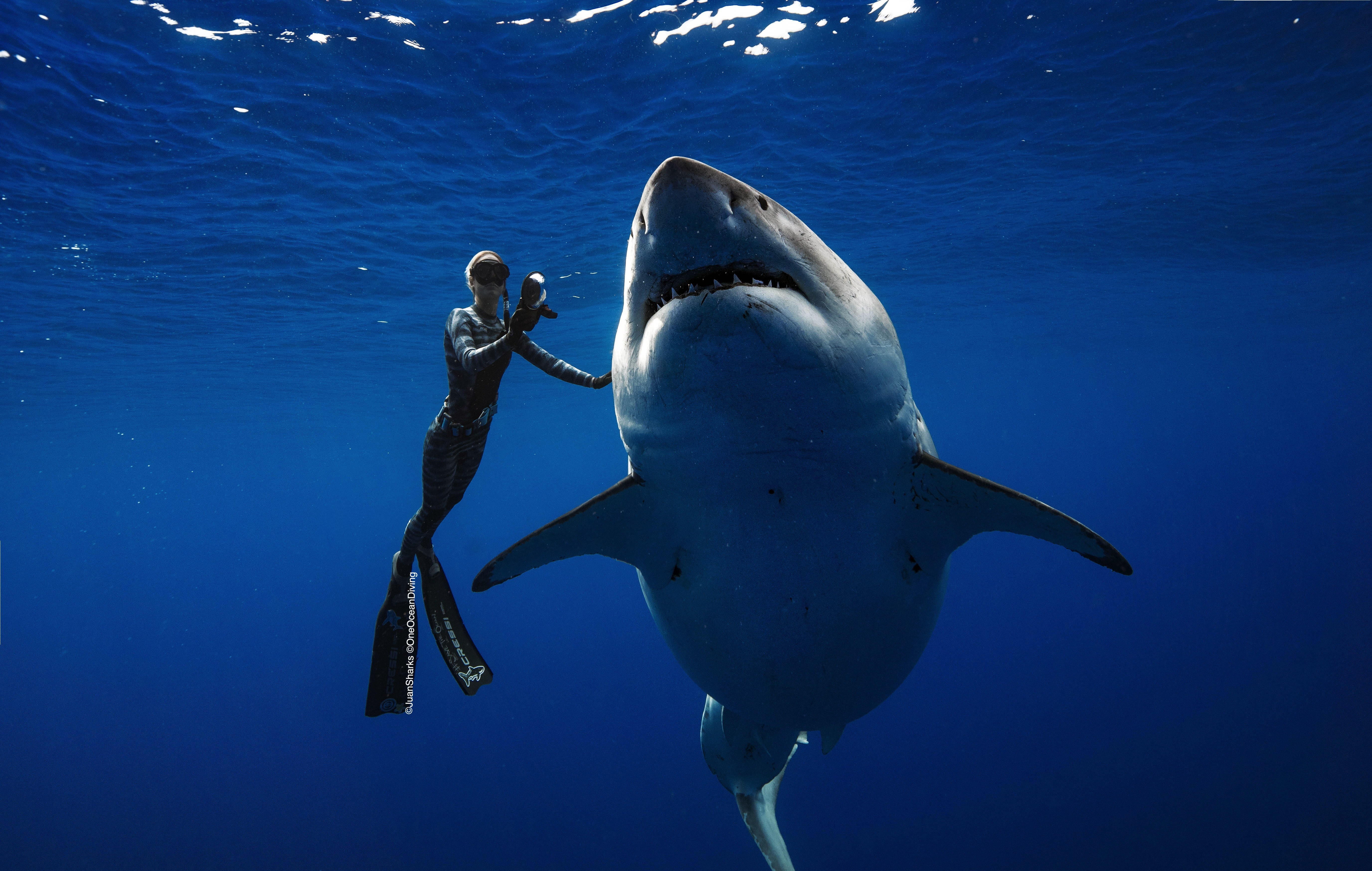 Video: Giant Great White Shark Frolics With Divers