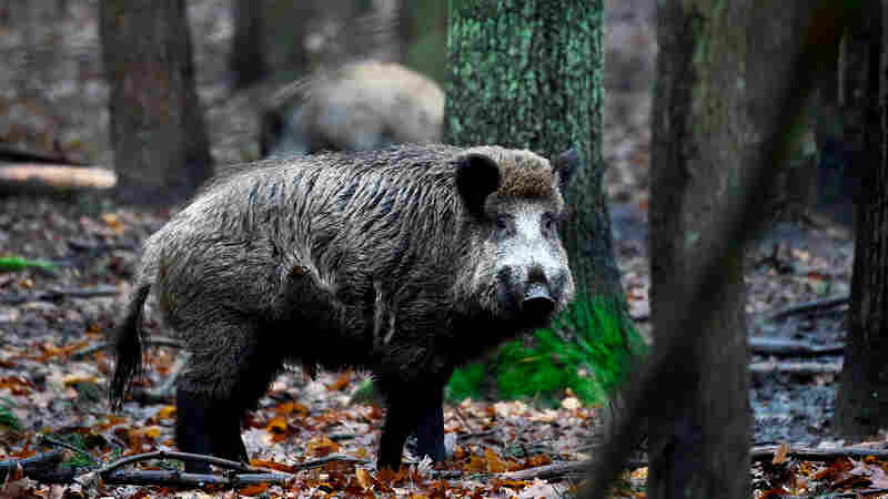 To Keep African Swine Fever Out, Denmark Is Planning A Southern Boar(der) Fence