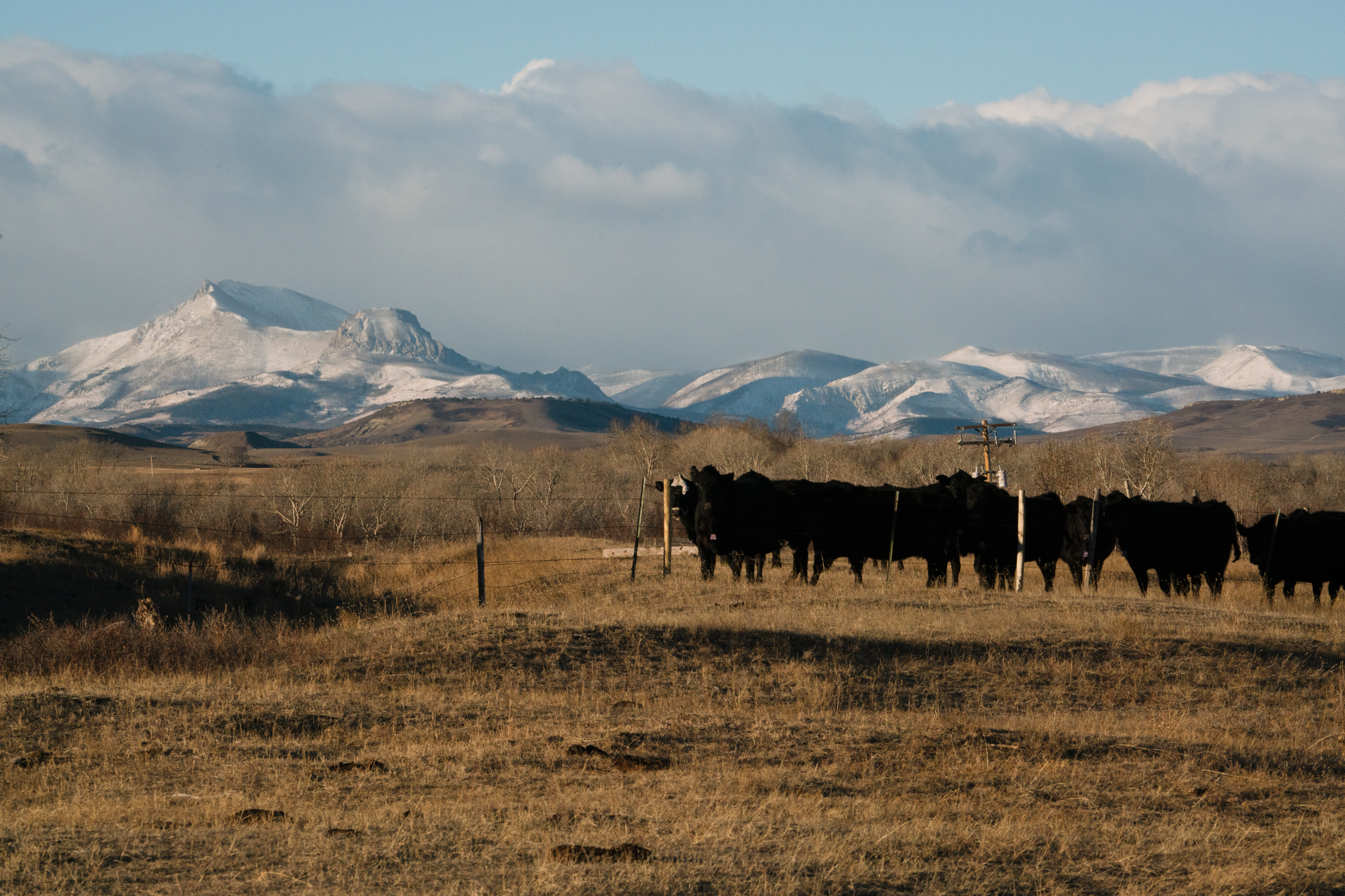 Some of Bradley's cows stand in their pasture on the Rocky Mountain Front. As the grizzly population has rebounded, they've spread off of the neighboring mountains into the more-populated plains.