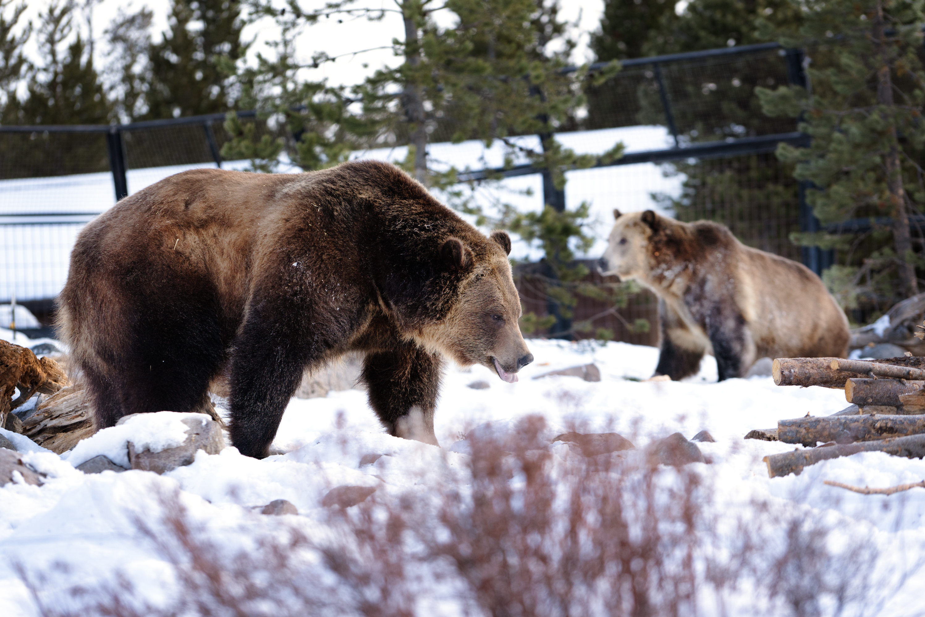 Two grizzly gears at the Grizzly and Wolf Discovery Center in West Yellowstone, Mont. Most bears are relocated to the center when they or their parents have issues with or become too comfortable interacting with humans.
