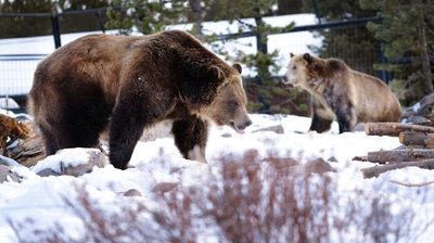 As Grizzlies Come Back, Frustration Builds Over Continued Protections