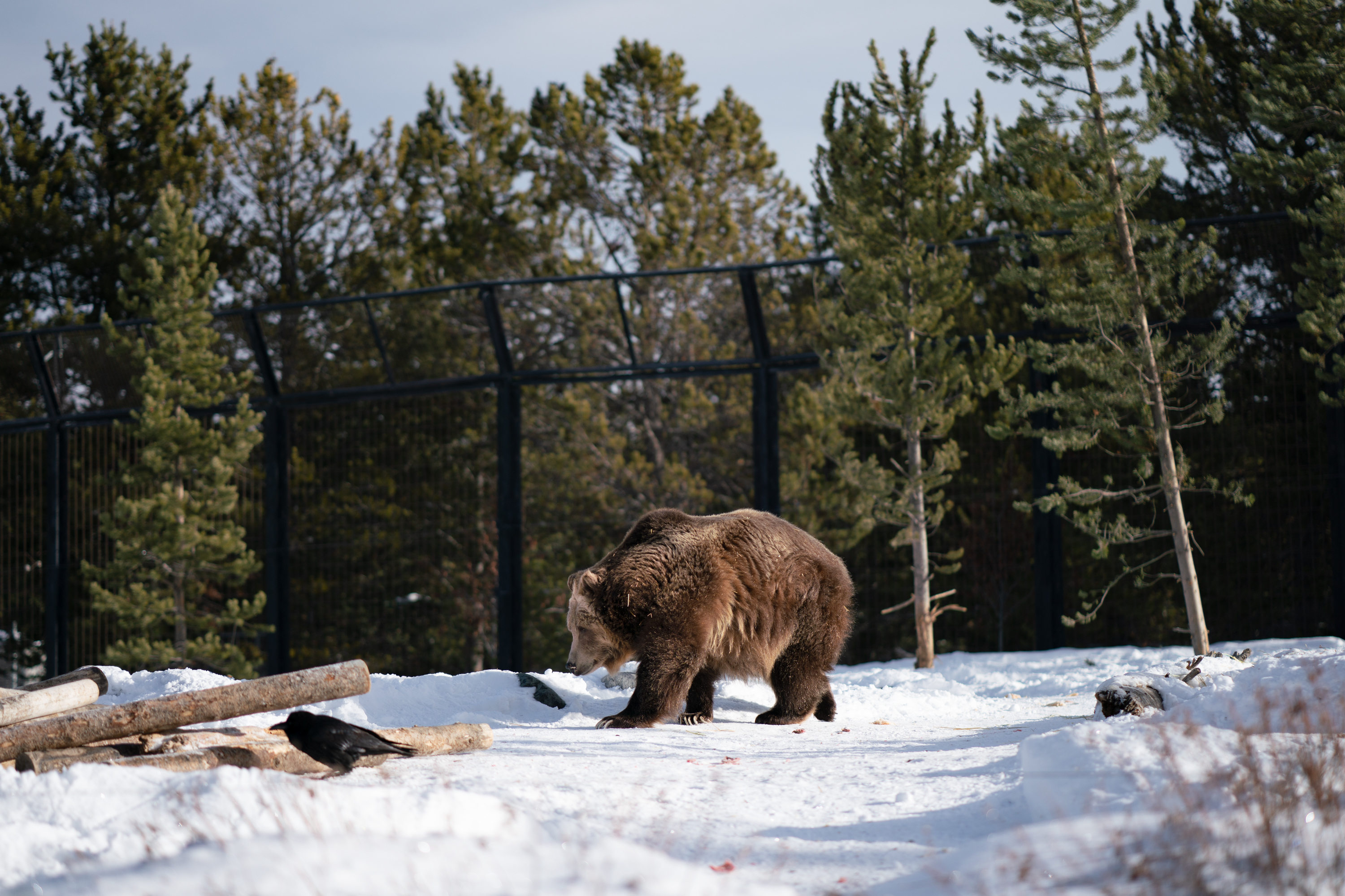 The U.S. Fish and Wildlife Service believes the Yellowstone-area grizzly bears have been recovered for more than decade.