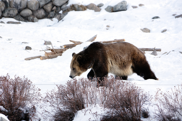 A grizzly at the Grizzly and Wolf Discovery Center in West Yellowstone. Today, there are an estimated 1,400 to 1,700 grizzly bears in the contiguous U.S.