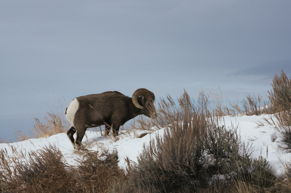 Just outside of Yellowstone National Park a bighorn sheep walks through the snow after nibbling salt from the highway.
